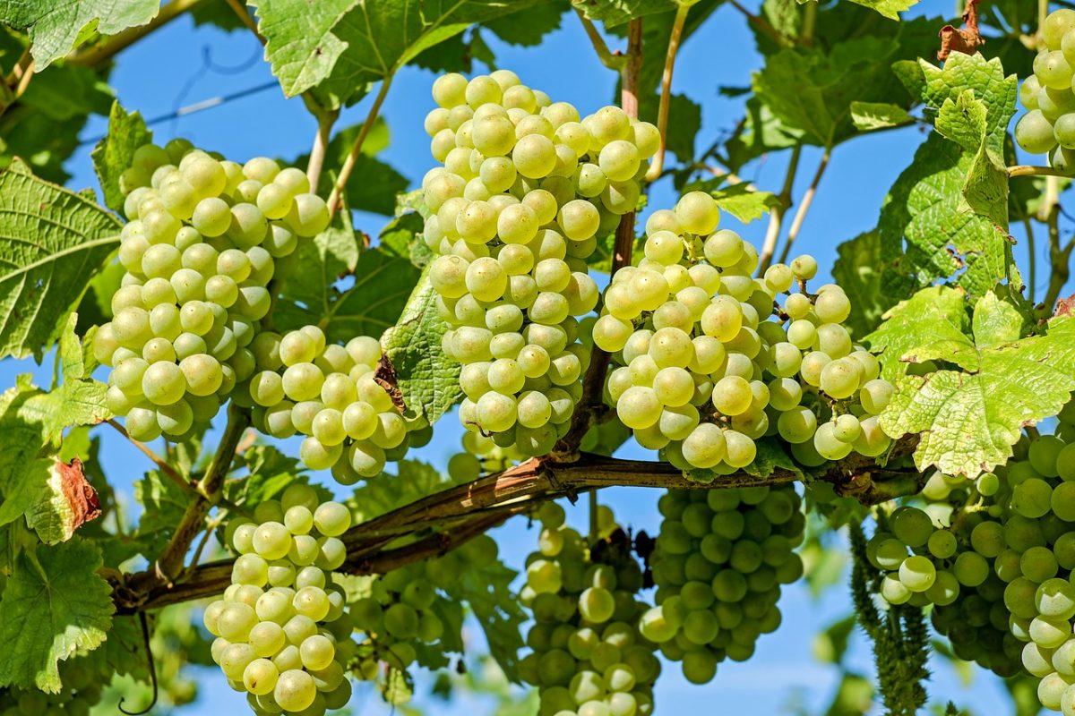 Vinfestival i Tokaj i oktober 2019